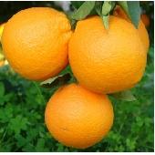 Arance Siciliane  di Ribera - Fioroni Washington