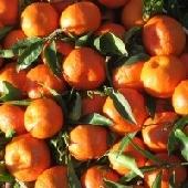 Clementine/Mandaranci  Siciliani di Ribera - Az. Agricola Guarraggi