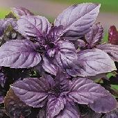 Basilico Violetto Rubin - Piantina in Vaso 10  - Orto mio