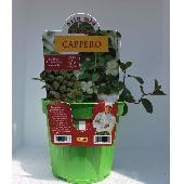 CAPPERO - Piantiina in vaso 14 cm - Orto mio