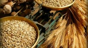 Los antiguos granos, cultivados con métodos conocidos solo en Sicilia