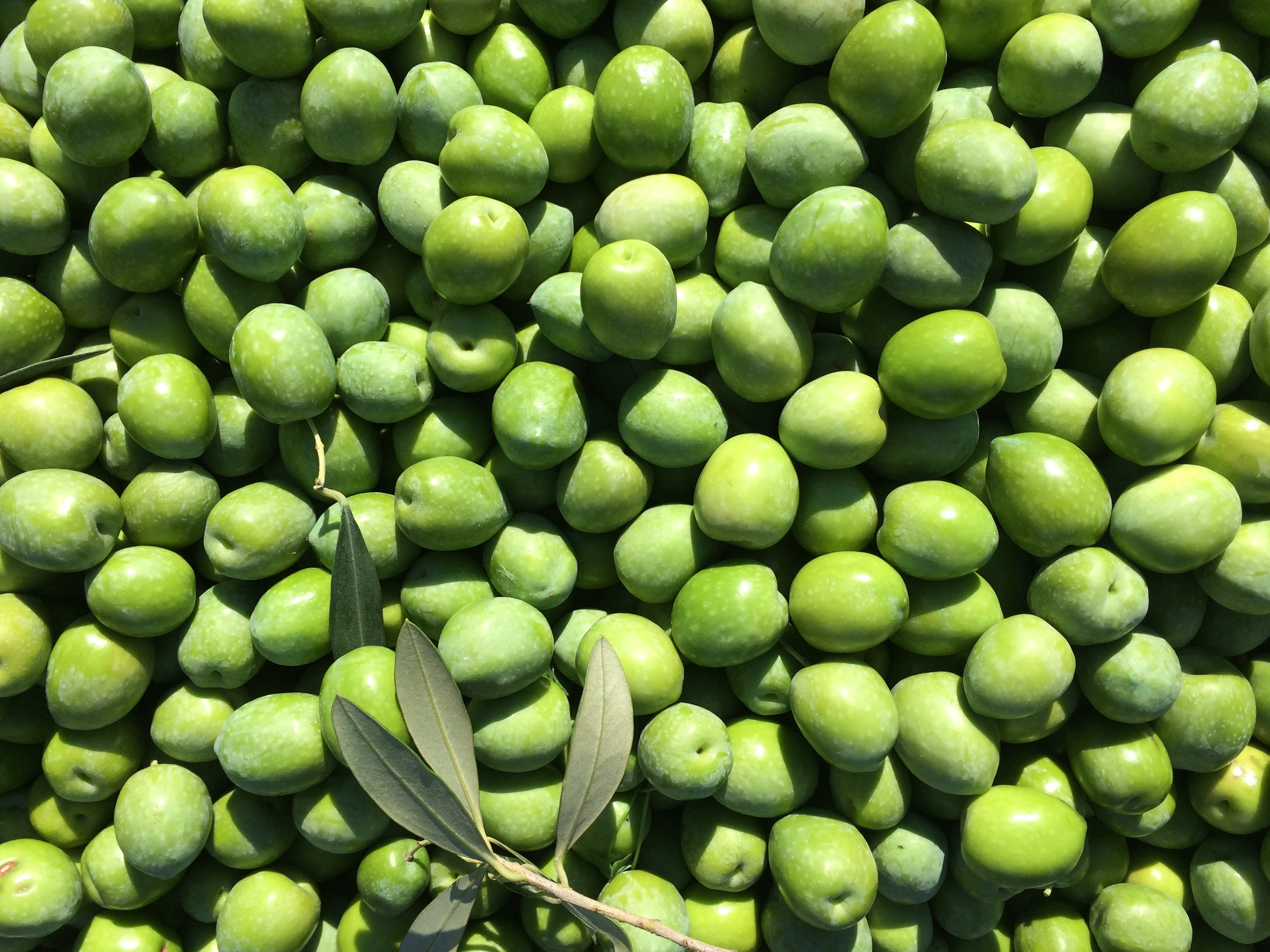 Nocella del Belice, the ultimate Sicilian olive