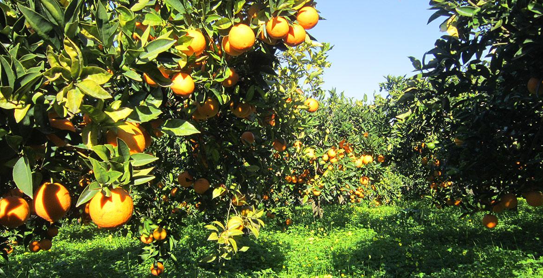 Proprietà Benefiche delle Arance di Ribera