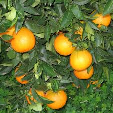 GUARAGGI farm: best citrus fruits from Sicily