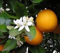 Ribera-Orangen: Leckere helle Vanille Orangen, die reich an Vitaminen sind