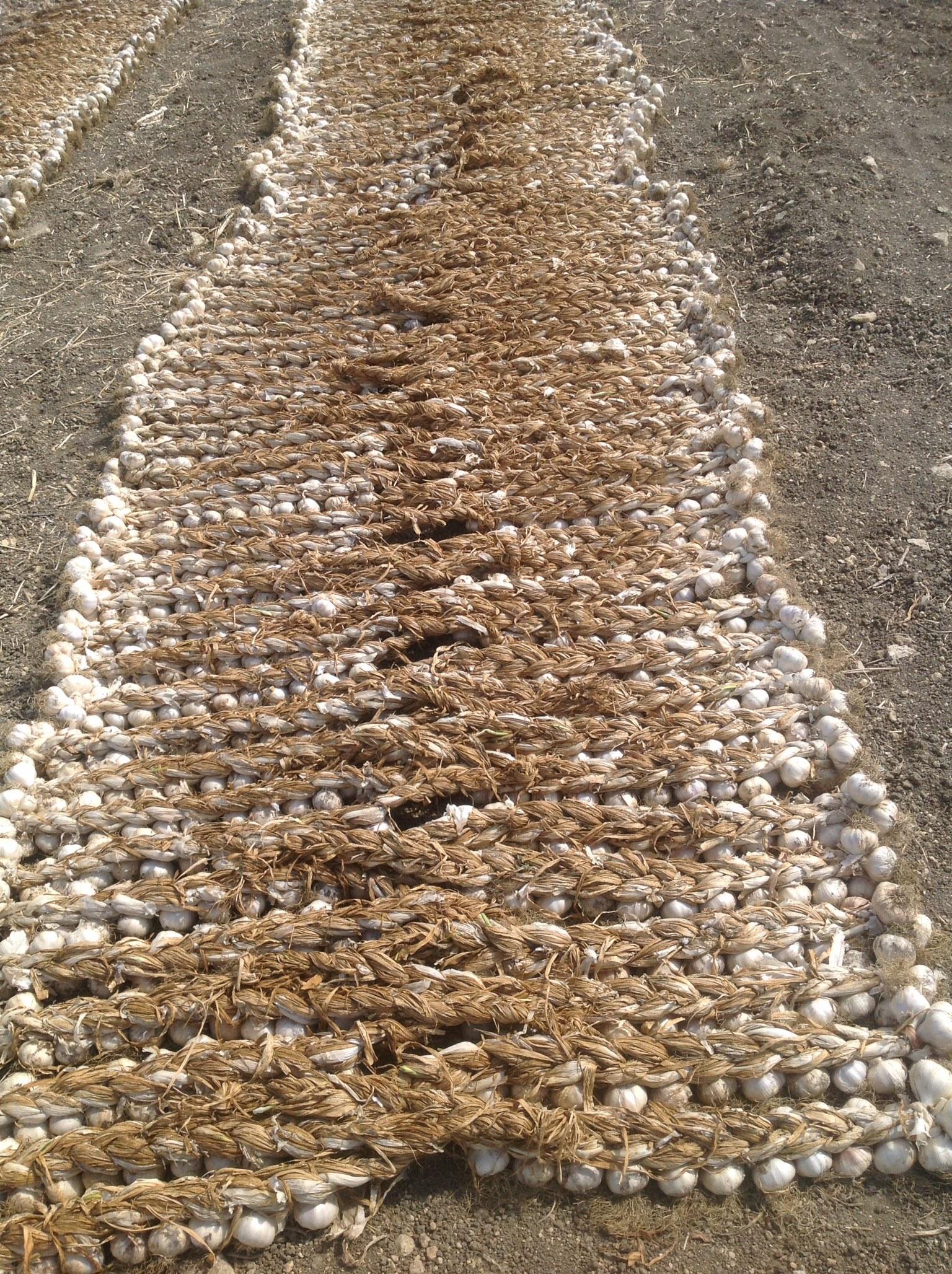 Azienda Agrícola Balducco llegó el ajo de Nubia nueva producción 2014