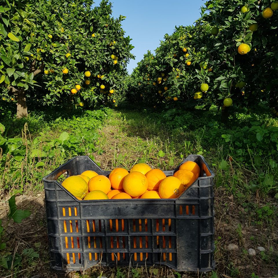 Now available: Oranges, tangerines and lemons of Az. Agricola Guaraggi - In production, only the integrated pest management is applied