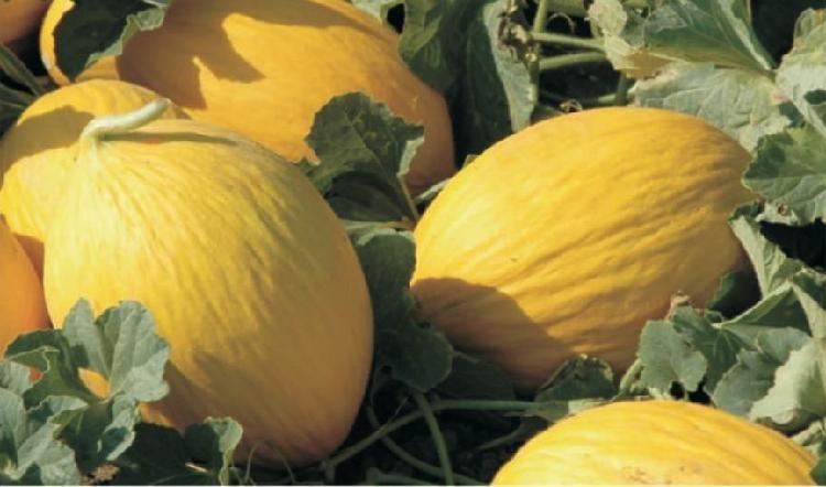 Melone Giallo Sicilia