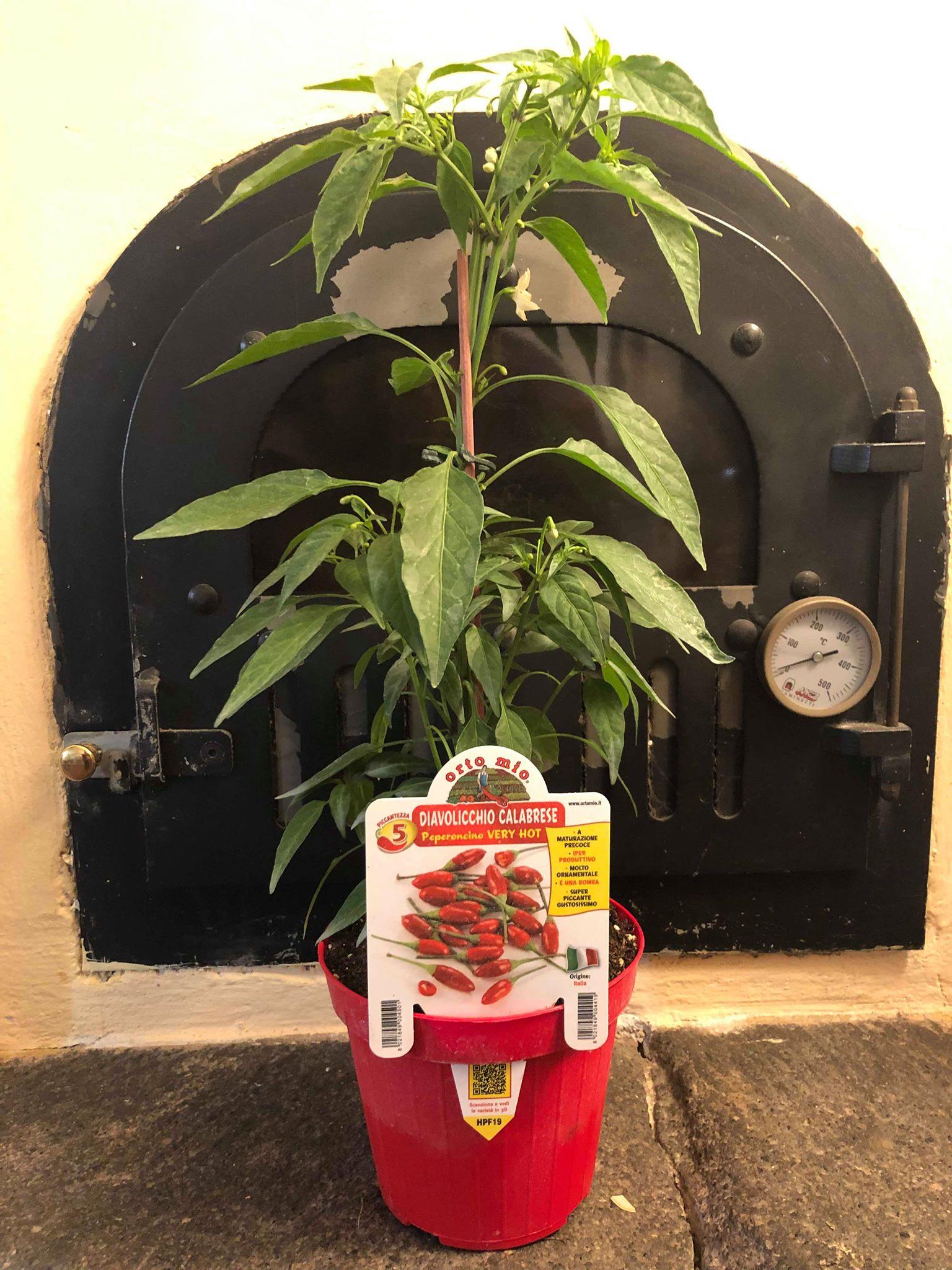 Peperoncino Piccante - Piantina in vaso - Orto mio Calabrese diavolicchio Italico